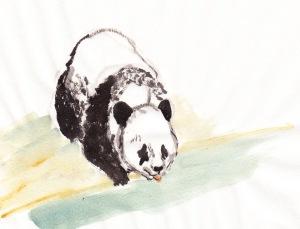 PandaDrinking