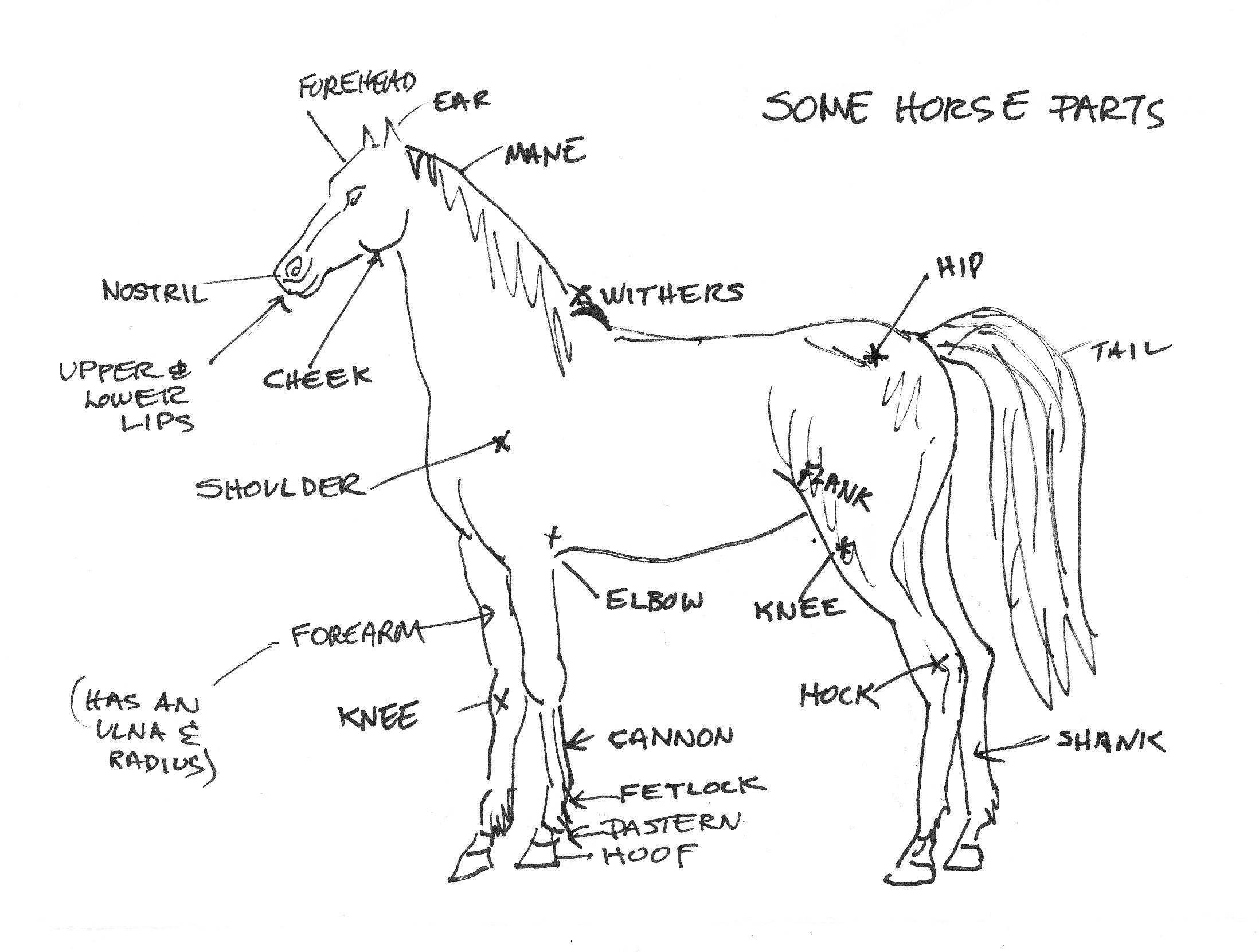 parts of a horse head