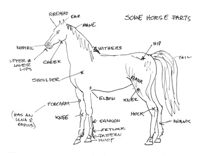 8 also Horseys together with 81698180715309151 together with Article in addition Clews in Natural History. on equine forelimb anatomy