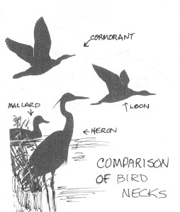 birdnecks_study