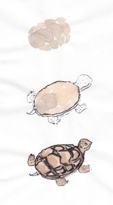 turtlestudy