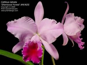 Brazilcattleya