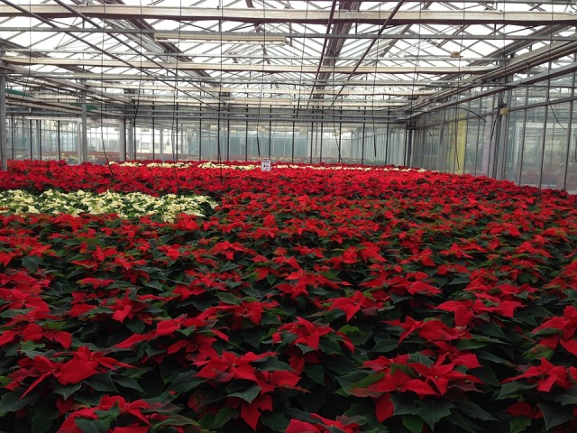 poinsettiagrow