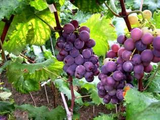 Xinjiang_grape_valley