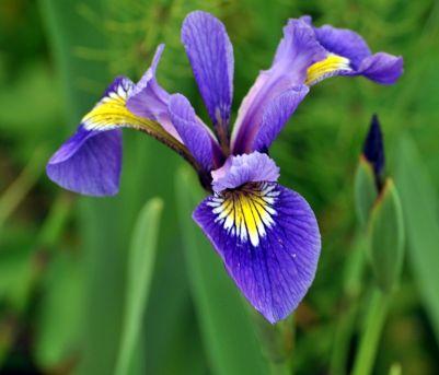 BlueFlagIrisversicolor