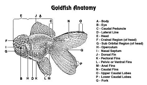 goldfishanat
