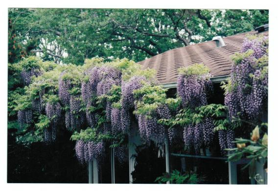 GHwisteria west