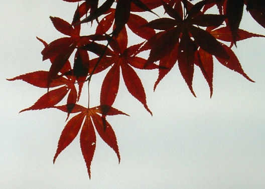 pointyredmaple