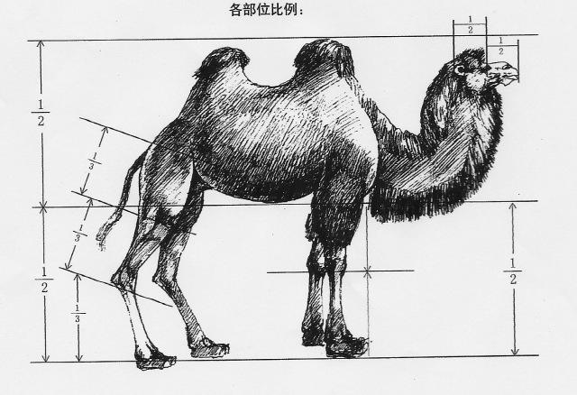 Camel LiHengCai 1