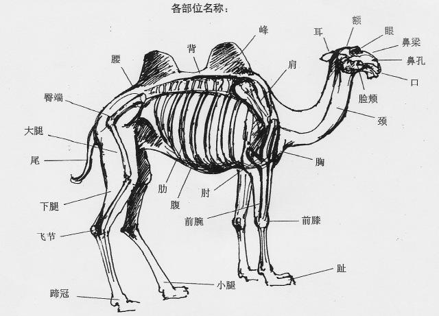 Camel LiHengCai